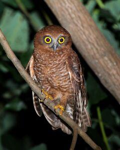 Species-Ninox-natalis-1
