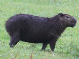 Lesser Capybara
