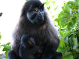 Johnston's Mangabey