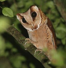 77-oriental-bay-owl-phodilus-badius-by-peter-ericisson