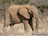 East African Bush Elephant