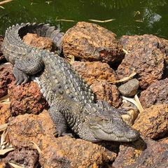 A Mugger Crocodile.