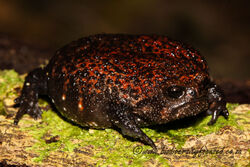 Strawberry-Rain-Frog-Breviceps-acutirostris-3