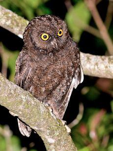 Anjouan scops owl avn-1
