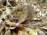 Ryukyu Spiny Rat