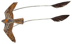 05 35 082 Macrodipteryx longipennis flying m