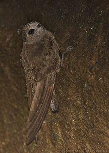 417--Vencejo-de-cascada-Great-Dusky-Swift-Cypseloides-senex-Cataratas-Iguaz-08-11-2010-b