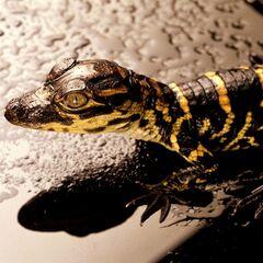 A Crocodilia species hatchling.