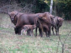 Females-calves