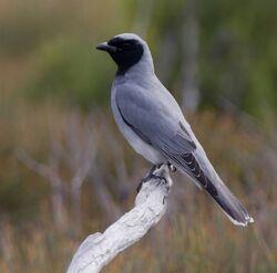 Black-Faced-Cuckoo-Shrike1