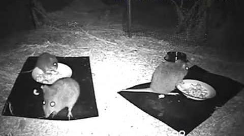 Gilberts Potoroo-2007 Infra Red Night Vision