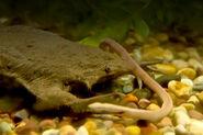 Surinam toad eating