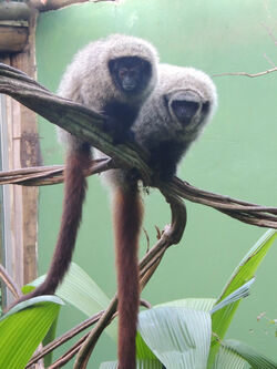 Two-captive-titi-monkeys-Callicebus-coimbrai-left-and-Callicebus-barbarabrownae