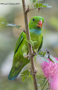 Vernal hanging parrot copy1