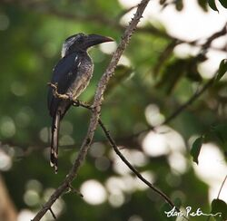 3694 Black Dwarf Hornbill Tockus hartlaubi Kakum National Park, Ghana 20130128 1 600