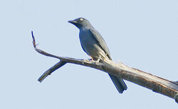 Bar-bellied Cuckoo-shrike (Coracina striata) on branch