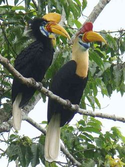 KnobbedHornbill.jpg-for-web-LARGE