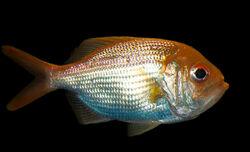 800px-Centroberyx affinis, Redfish