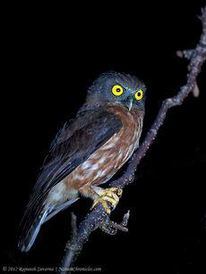 Species-Ninox-affinis-1