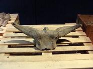 Bos palaesondaicus skull