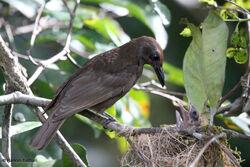 Dusky-brown Oriole Oriolus phaeochromus