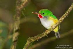 93-puerto-rican-tody-todus-mexicanus-by-judd-patterson