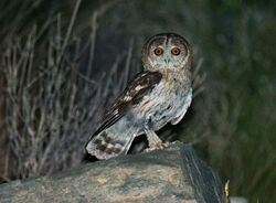 Omani-owl-bride-s2048x1508-p