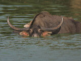 Wild Asian Water Buffalo