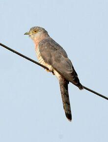 Common Hawk Cuckoo Hierococcyx varius DSC 5681 (2)