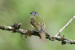Inca flycatcher IMG 0740
