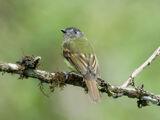 Inca Flycatcher