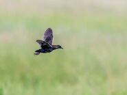 Adult Black Rail Flying