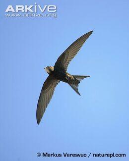 Common-swift-in-flight