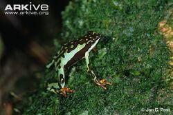 Harlequin-frog-female