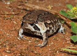 Sand-Rain-Frog-20120909b1