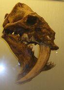 Barbourofelis fricki Skull