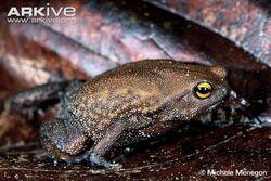 Usambara-big-fingered-frog
