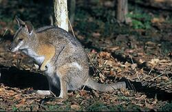Macropus-dorsalis