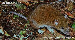 Mindanao-shrew-mouse-in-habitat