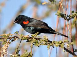Red-shouldered-Cuckooshrike