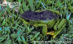 Azuay-stubfoot-toad-on-grass