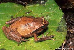 Plethodontohyla inguinalis