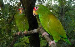 Image 4993e-Amazona-gomezgarzai