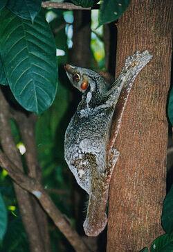 Sunda flying lemur