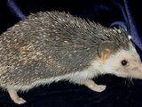 Somali Hedgehog
