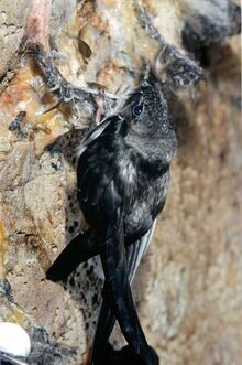 Pic 11 1andhalf month blacknest swiftlet lck