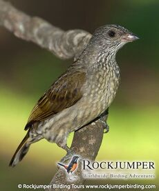 Scaly-throated-honeyguide-by-hugh-chittenden