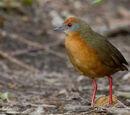 Russet-crowned Crake
