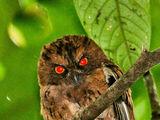 São Tomé Scops Owl