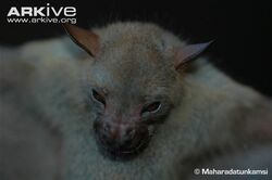 Javan-tailess-fruit-bat-head-profile